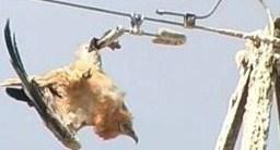 Efectos sobre la avifauna de los tendidos eléctricos