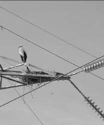Efecto sobre la avifauna de los tendidos electricos